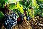 Grape Festival and Barrel Palio